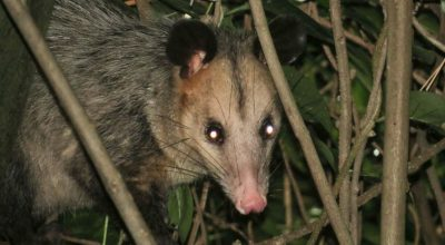 7 Tips to Protect Your Ducks And Chickens From Opossums