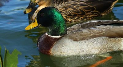 5 Duck Breeds Ideal For Small Ponds