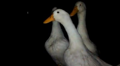 Can Ducks See In The Dark?