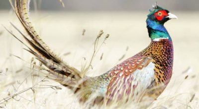 Do Pheasants Eat Mice? (Clear Explanation)