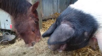 Can Horses And Pigs Be Kept Together? (Main Considerations)