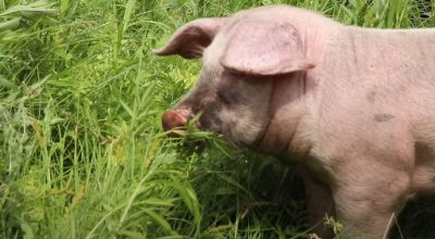 Can Pigs Eat Grass Clippings? (Key Information)