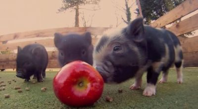 Are Apples Good For Pigs? (Tips & Cautions)