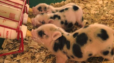 Can Pigs Drink Cow Milk? (Major Considerations)