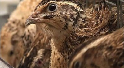 Can Quail Live Together With Partridges or Pheasants?