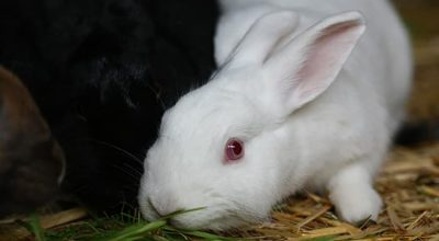 Do Rabbits Eat Holly? Are They Toxic or Safe?