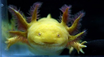 How Long Can An Axolotl Survive Out of Water?