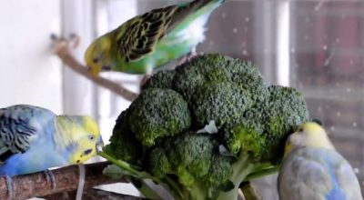 Can Budgies Eat Broccoli? (Overfeeding Could Be Harmful)