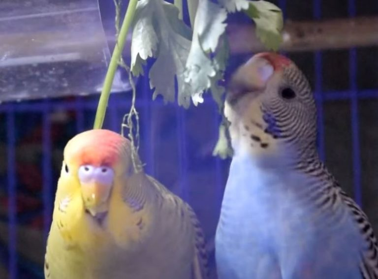Can Budgies Eat Cilantro? (Is it Safe or Toxic for Birds?)