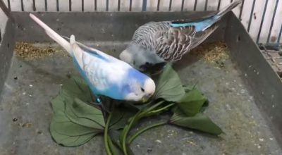 Healthy Herbs And Plants That Budgies Can Eat (Non-Toxic)