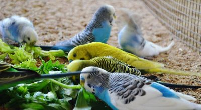 Can Budgies Eat Celery? (Tips And Recommended Intake)