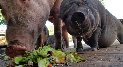 Why Are Pigs Always Hungry?