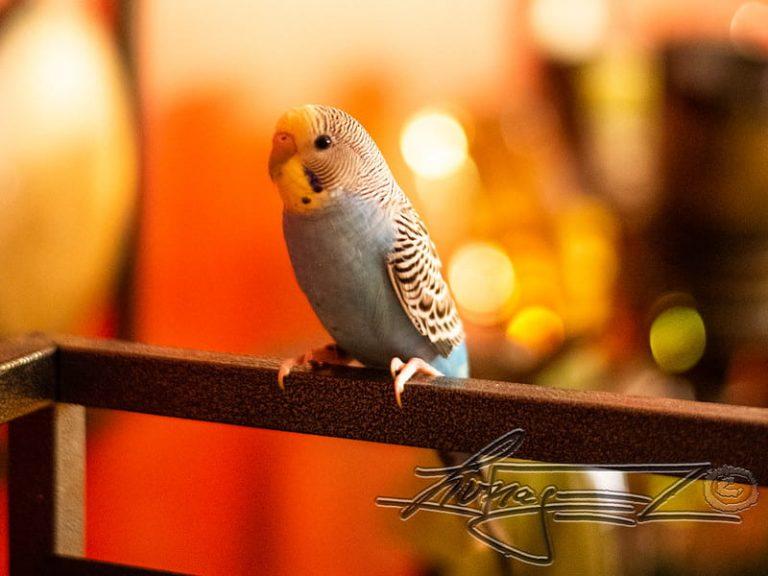 Do Budgies Have Good Hearing? (Explained in Details)