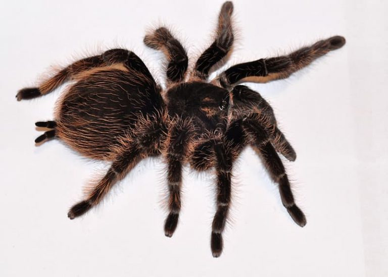 How Long Can Tarantulas Go Without Eating (Why and What to Do)