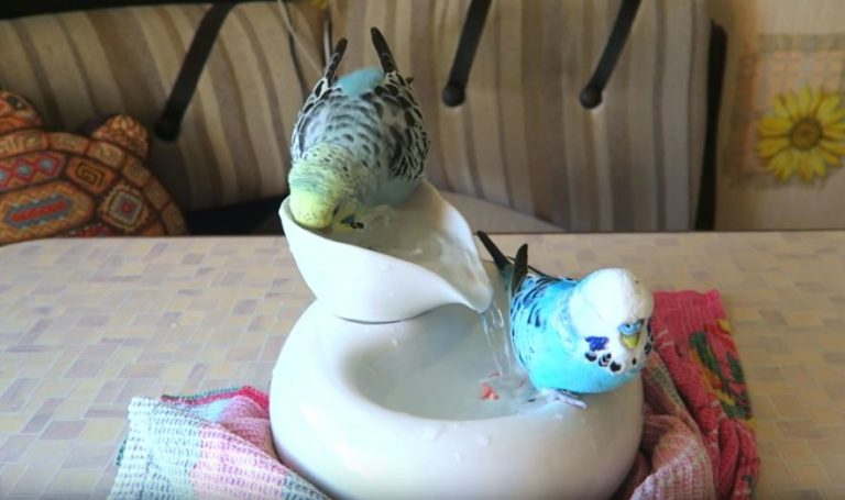 Can a Parakeet Drown By Accident? (Solved)