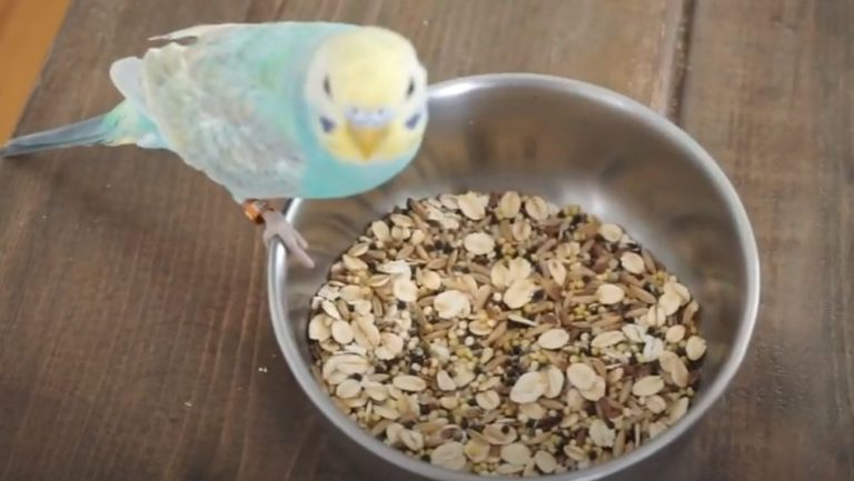Can Parakeets Eat Chia Seeds? (Solved)