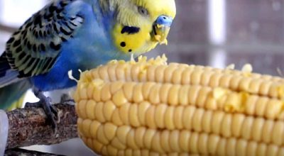 Can Budgies Eat Corn? Is It Healthy Or Unsafe? (Solved)