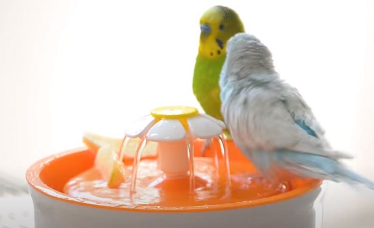 Why Do Parakeets Chirp When They Hear Water?(Solved)