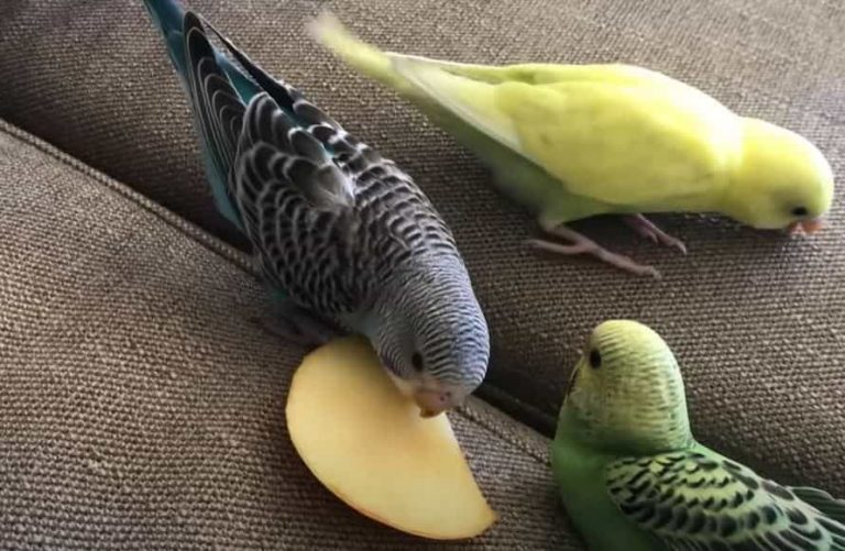 Parakeets: List of Allowed and Forbidden Vegetables And Fruits