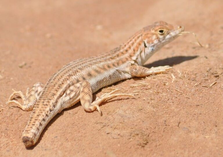 Why Do Lizards Tails Fall Off? (Solved)