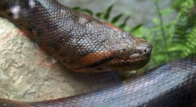What Animals Can Beat & Eat Anacondas? (Solved)