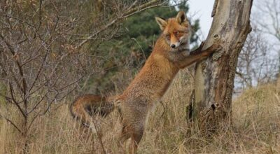 Red Foxes Can't Climb Trees (Short Answer)