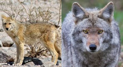 Wolf vs Coyote (Who Would Win In A Fight?)