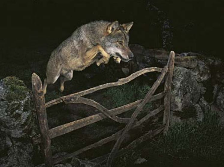 Can Wolves and Coyotes Jump Over a Fence? (Brief Answer)
